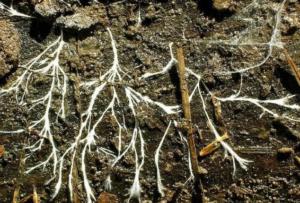 Преимущества удобрения микоризы для рассады и почвы